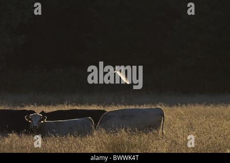 Schleiereule (Tyto Alba) Erwachsenen, im Flug über lange Rasen, Hintergrundbeleuchtung mit Mücken und Hausrind, - Stockfoto
