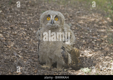 Eurasische Adler-Eule (Bubo Bubo) Küken, auf Anhöhe in der Nähe von Nest, Spanien - Stockfoto