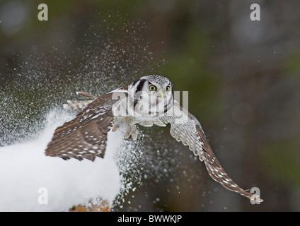 Nördlichen Sperbereule (Surnia Ulula) Erwachsenen, im Flug fangen Wühlmaus Beute im Schnee, Nordfinnland, Februar - Stockfoto