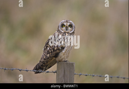 Short-eared Eule (Asio Flammeus) Erwachsenen, thront auf Zaun Pfosten, Norfolk, England, winter - Stockfoto