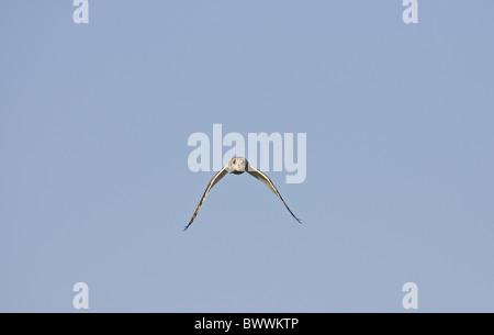 Short-eared Eule (Asio Flammeus) Erwachsenen während des Fluges, Spanien - Stockfoto