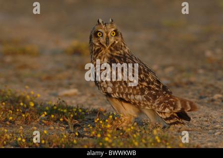 """Short-eared Eule (Asio Flammeus) Erwachsenen, mit """"Ohr Tufts"""" angesprochen, auf Anhöhe, Lesbos, Griechenland, april - Stockfoto"""