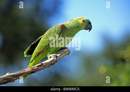 Blau-fronted Amazon Parrot (Amazona Aestiva) Erwachsenen, thront auf Zweig, Pantanal, Mato Grosso, Brasilien - Stockfoto