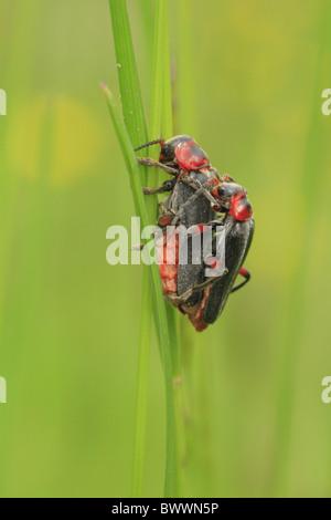 Cantharis Rustica Soldat Mate Paarung paar Paarung schwarzen roten Insekt Käfer Natur natürliche wilde Tierwelt - Stockfoto
