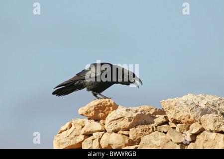 Gemeinsamen Raven (Corvus Corax) Erwachsenen, mit der Aufforderung, thront auf Felsen, Fuerteventura, Kanarische - Stockfoto