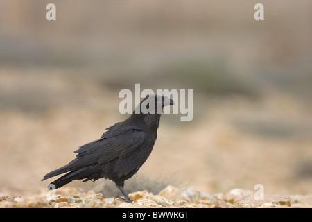 Kanarischen Inseln Raven (Corvus Corax Tingitanus) Erwachsenen, stehend auf Boden, Fuerteventura, Kanarische Inseln - Stockfoto