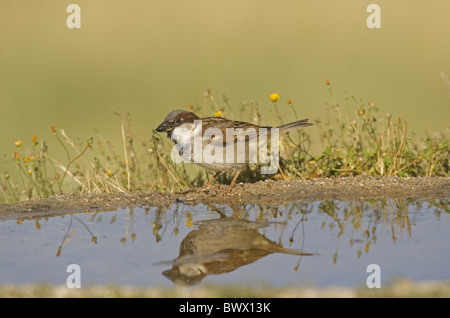 Haussperling (Passer Domesticus) Männchen, Fütterung am Rand des Pools, Spanien - Stockfoto