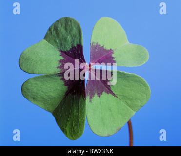 4-blättrige Kleeblatt Kleeblatt Glück Glücksbringer Glück Glück Symbol Konzept - Stockfoto
