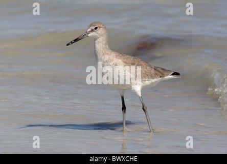 Willett (Catoptrophorus Semipalmatus) Erwachsenen, stehen am Strand im flachen Wasser, Sanibel Island, Florida, - Stockfoto