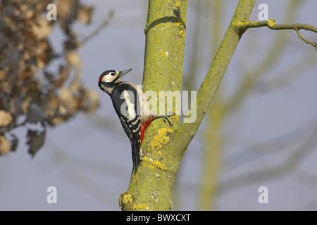 Größere Spotted Woodpecker (Dendrocopus großen) Männchen auf Flechten bedeckt Asche Baum, Warwickshire, England, - Stockfoto