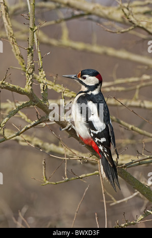 Größere Spotted Woodpecker (Dendrocopus großen) männlich thront auf Zweig im Garten, Warwickshire, England, Frühling - Stockfoto