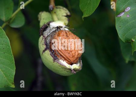 Walnuss auf einem Baum - Stockfoto