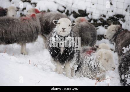 Herdwick Schafe im Winter im englischen Lake District - Stockfoto