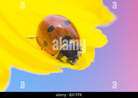 Sieben spot Marienkäfer auf eine Stauden-Sonnenblume - Coccinella septempunctata - Stockfoto