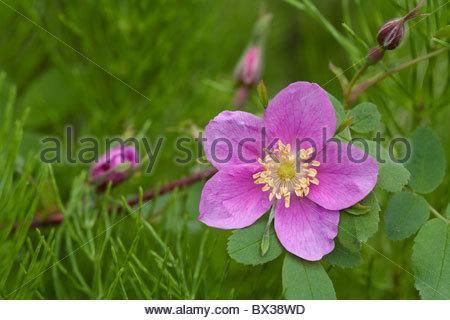 USA, Alaska, Anchorage, im Juni. Einzelnen stacheligen Rosenblüten (Rosa Acicularis) und Knospen Hintergrund grün. - Stockfoto