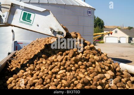 Neu geernteten mehlige Kartoffeln verladen auf einen LKW für den Transport im Canyon County, Idaho, USA. - Stockfoto