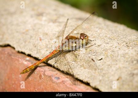 Weibliche gemeinsame Darter Libelle Sympetrum Striolatum ruht auf einer Gartenmauer - Stockfoto