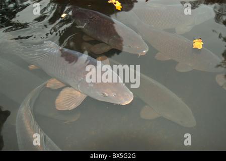 Zierfische in see stockfoto bild 17697936 alamy for Koi karpfen teich