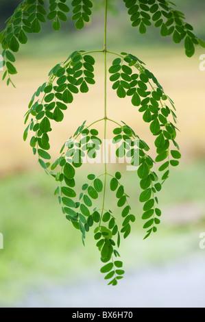 Moringa oleifera, Drumstick Tree verlässt. Indien - Stockfoto
