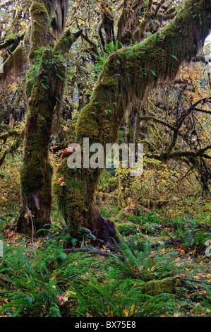 USA, Washington, Olympic Nationalpark, Hoh Regenwald, Moos bedeckt Bäume - Stockfoto