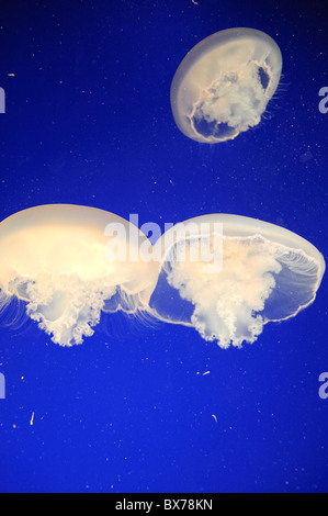 USA, California, Monterey Bay Aquarium, Moon Jellyfish (Aurelia Golden) - Stockfoto