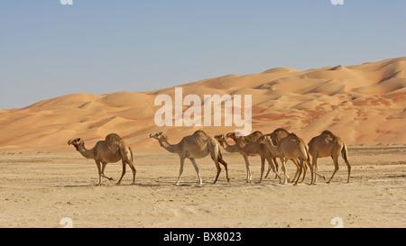 Kamele in der Rub Al Khali oder leere Viertel. - Stockfoto