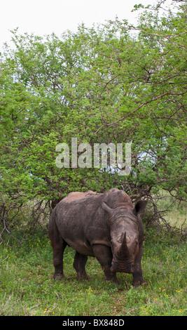 Weiß oder Quadrat-lippige Rhinoceros (Ceratotherium Simum) - Stockfoto