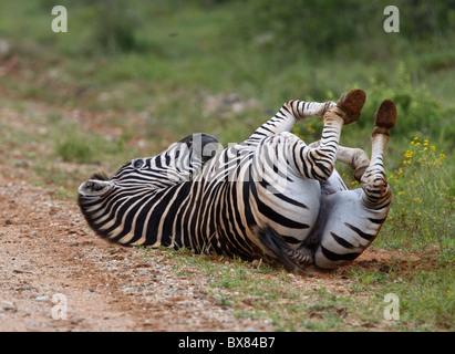 Ebenen oder Burchell Zebra (Equus Quagga) auf dem Boden Rollen - Stockfoto
