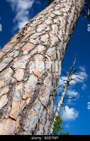 Rinde und Stamm eines sehr alten Kiefer (Pinus sylvestris), Finnland - Stockfoto