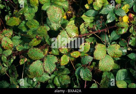 BlackBerry allgemeine Rost (Phragmidium Violaceum) Infektion auf wilde Brombeere Stamm - Stockfoto