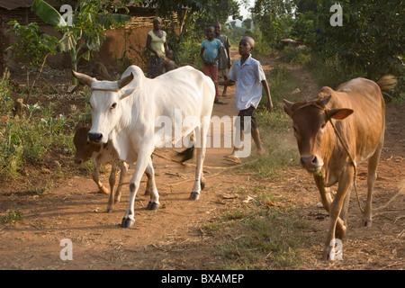 Ein Junge Herden Vieh in Igamba Dorf, Iganga Bezirk, östlichen Uganda, Ostafrika. - Stockfoto