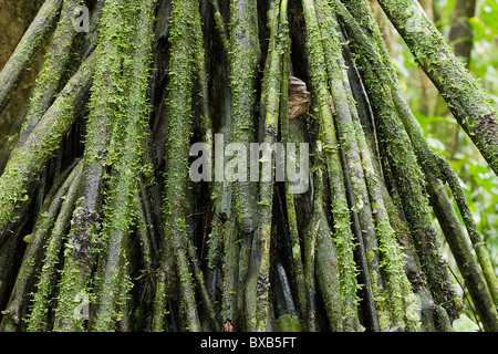 verwurzelten baum stockfoto bild 117616207 alamy. Black Bedroom Furniture Sets. Home Design Ideas