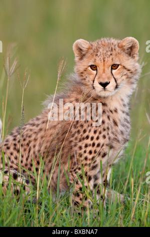 Gepard - Stockfoto