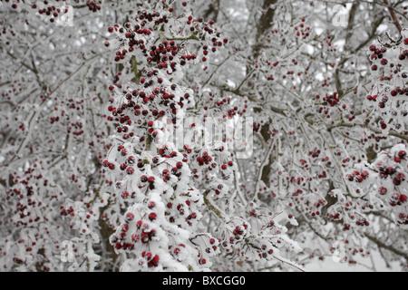 frostigen rote beeren stockfoto bild 49867206 alamy. Black Bedroom Furniture Sets. Home Design Ideas