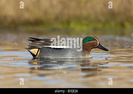 Ein erwachsener Mann Überwinterung Stamm- oder eurasische Teal schwimmen - Stockfoto