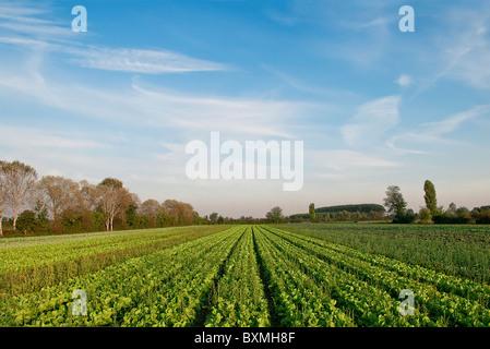 Chicorée, organische Landwirtschaft - Stockfoto