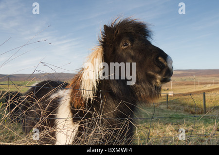 Grüße aus ein Shetland-Pony. - Stockfoto
