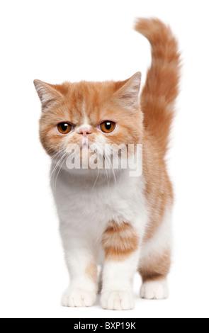 Exotisch Kurzhaar Kätzchen, 4 Monate alt, zu Fuß vor weißem Hintergrund - Stockfoto
