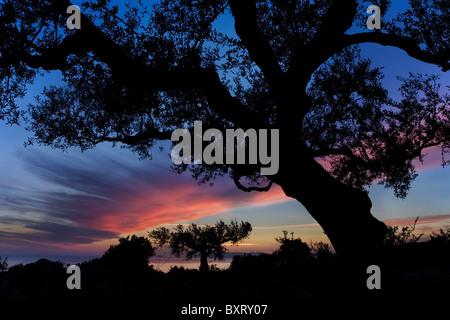 Olive Tree in der Abenddämmerung Stockfoto