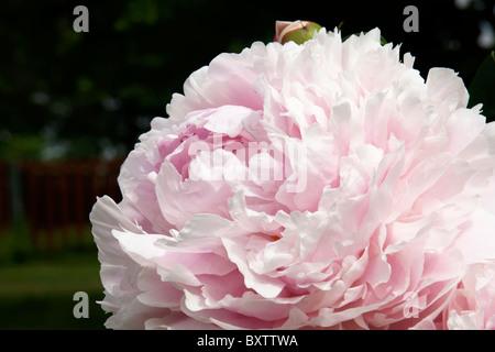 Nahaufnahme einer großen blass rosa Pfingstrose mit viel Blütenblatt-Details. - Stockfoto