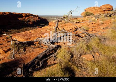 Australia Northern Territory Watarrka National Park Spinifex Gras- und knorrigen Ast an Spitze der Kings Canyon - Stockfoto