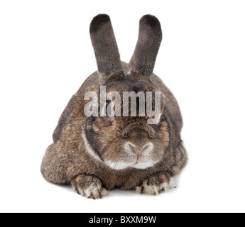 flauschige wei e hase mit braunen und schwarzen flecken stockfoto bild 63709756 alamy. Black Bedroom Furniture Sets. Home Design Ideas