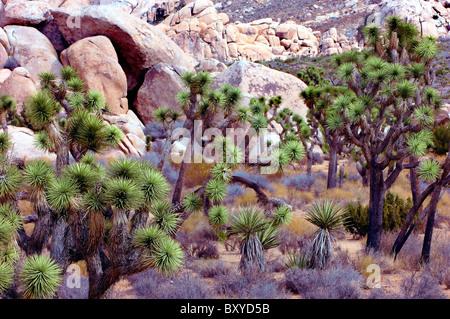 Impressionen vom Joshua Tree Park, Yucca Brevifolia, Mojave-Wüste, Kalifornien, USA - Stockfoto