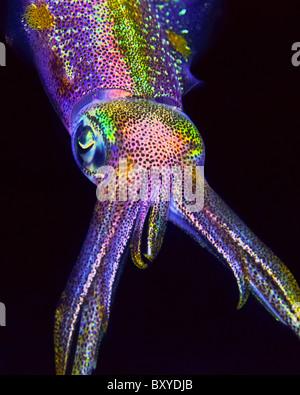 Caribbean Reef Tintenfisch, Sepioteuthis Sepioidea, Key Largo, Florida, USA - Stockfoto