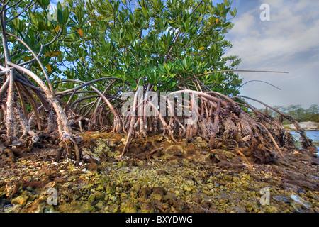 Wurzeln der roten Mangroven Rhizophora mangle, Key Largo, Florida, USA - Stockfoto
