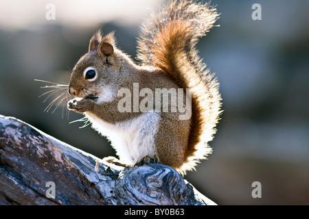 Eichhörnchen thront auf einem Ast Essen Samen. - Stockfoto