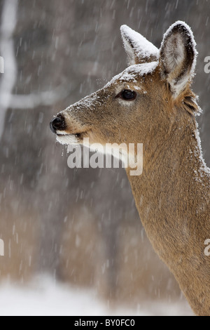 Weiß - angebundene Rotwild (Odocoileus Virginianus) New York - Doe - im Schnee - Stockfoto