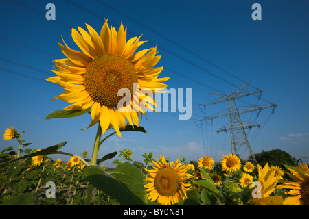 Stromleitungen über Sonnenblumenfeld, Helianthus Annuus, München, Bayern, Deutschland - Stockfoto