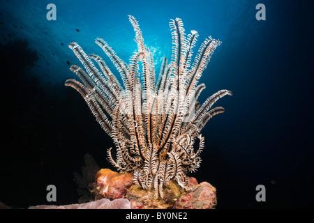Featherstar im Korallenriff, Comantheria SP., Alam Batu, Bali, Indonesien - Stockfoto