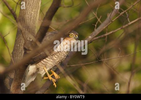Frau Sperber (accipiter Nisus) in Wäldern, Yorkshire, Großbritannien - Stockfoto